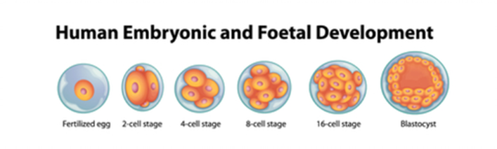 human embryonic foetal development
